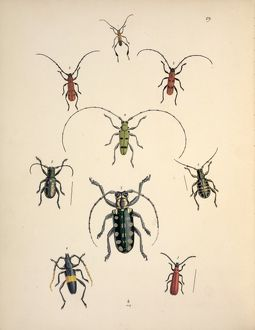 Nine species of Cerambycid beetles