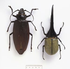 Titanus giganteus (left), Dynastes hercules (right)