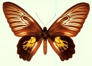 Troides haliphron, birdwing butterfly