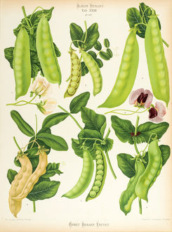 Varieties of edible-podded pea, or sugar pea.