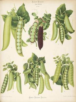 Varieties of pea (Pisum sativum) - second.